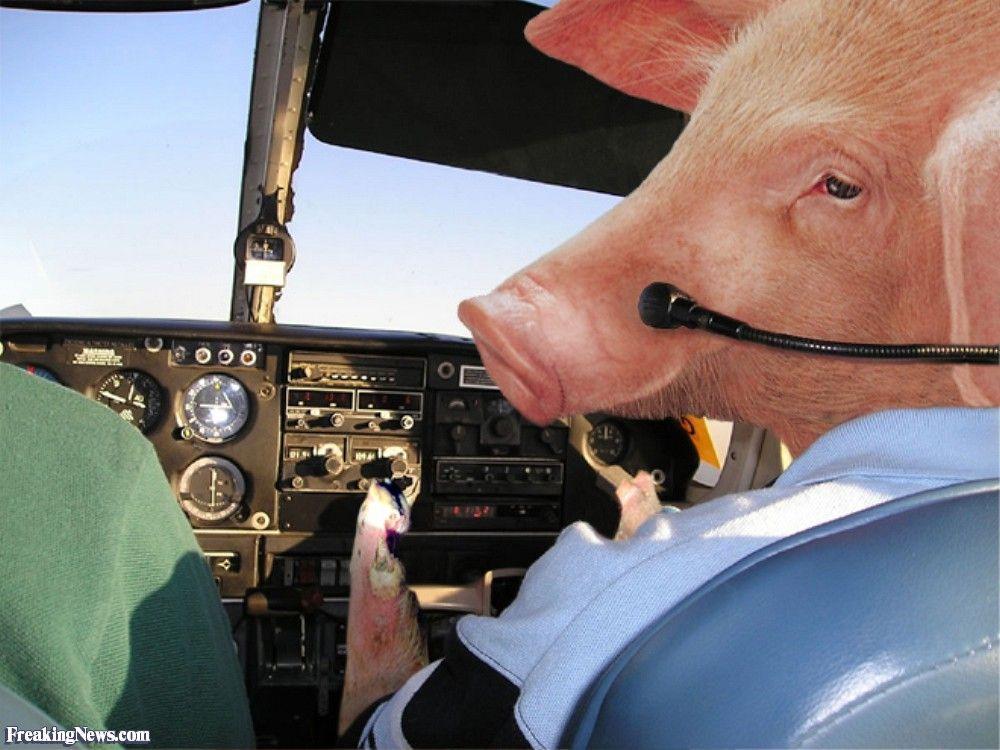 Uruguay maiale dal cielo