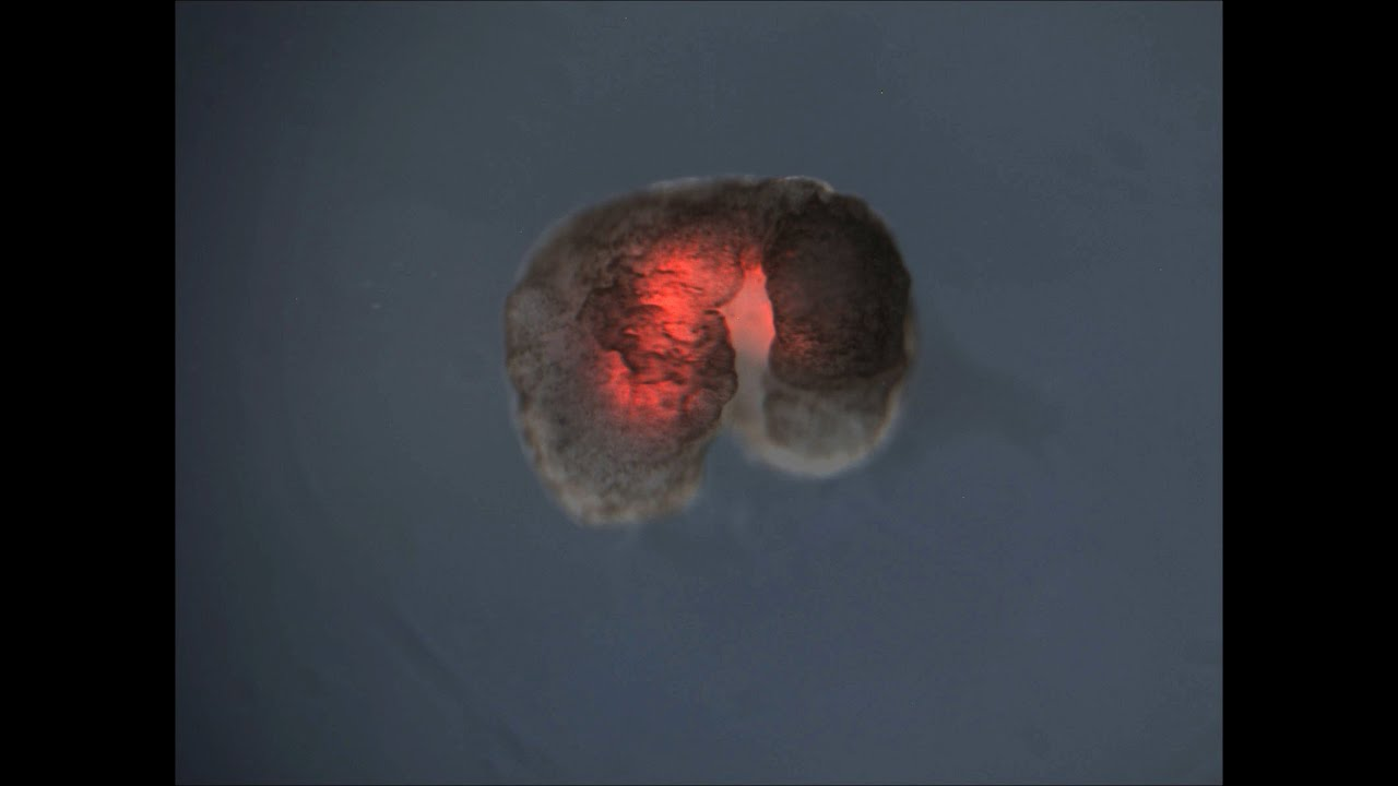 Xenobot cellule viventi